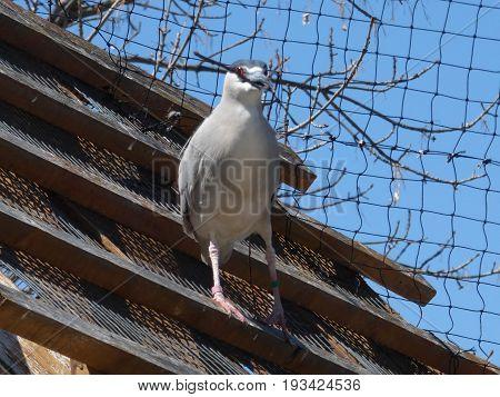 A blue Egret bird gathering sticks for nest building.