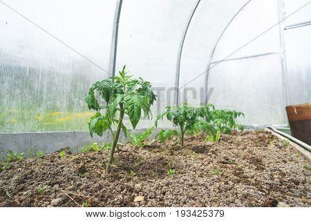 Tomato plants in vegetable greenhouses. Tomato seedling before planting into the soil, greenhouse plants, drip irrigation,