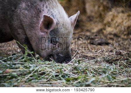 Pink Vietnamese Pig Resting Lying On A Straw On A Farm