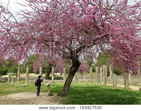 The Ancient Ruins under Blooming Pink Judas Trees in the Archaeological Site of Ancient Olympia, Greece