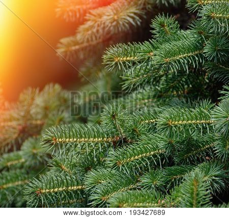 Fir tree brunch close up. Fluffy fir tree brunch close up. Christmas wallpaper background