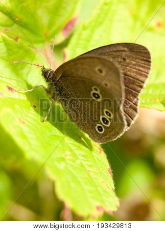 Brown Ringlet Butterfly Outside Resting On Leaf