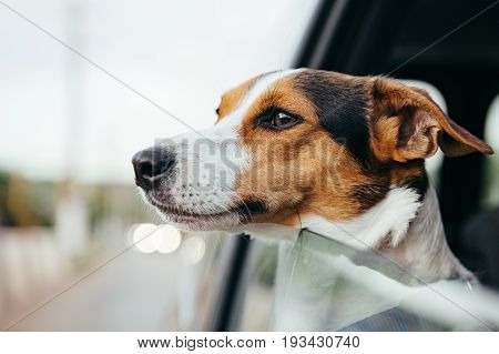 Small dog breed Jack Russell Terrier looks out the open window of the car. Closeup