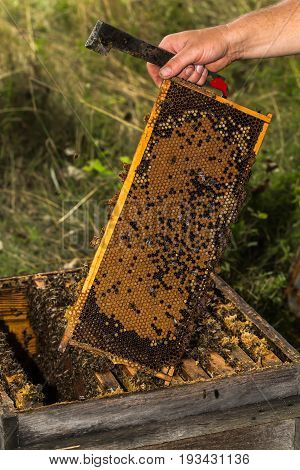 beekeeper keeps fully honeycomb of honey over the very old hive