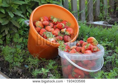 Strawberries during harvest hanging on the branches or has already been disrupted and are in the bucket.