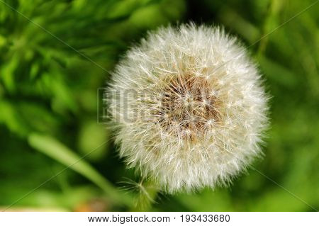 Fluffy snow-white dandelion waits for a gust of wind so that its seeds scatter throughout the district.