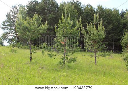 Three young pine trees stand alone against the background of a dense pine forest.