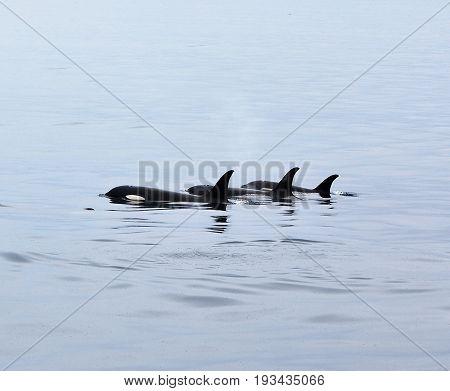 Orcas swimming in Resurrection  Bay, Alaska, Kenai Peninsula