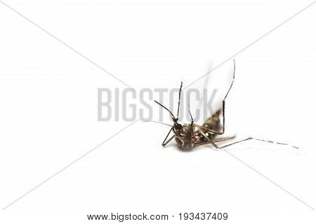 dead black culex mosquito on isolated background