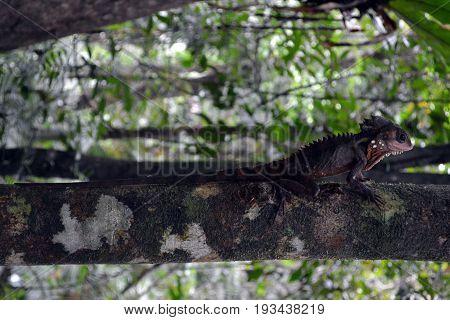 Chameleon found in Daintree Rainforest, Queensland, Australia