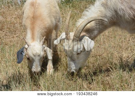 Mother and baby kid kiko goats grazing together side by side as part of weed control and wildfire abatement program
