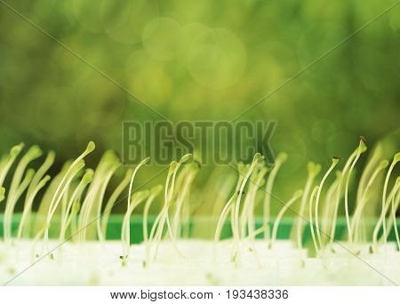 Growing microgreens with seed leaf or cotyledon on green bokeh background