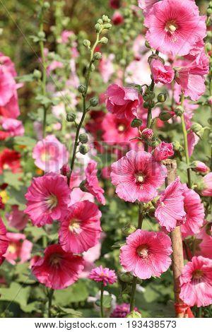 Pink Hollyhock flower plant in sunlight garden.