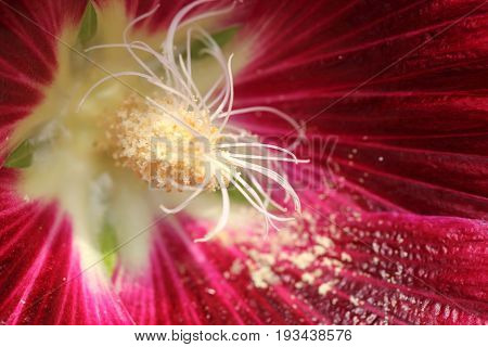 Long stamens with pollen inside red Hollyhock flower by macro lens.