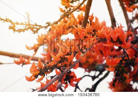 Bastard Teak or Flame of the Forest flower with flare light soft focus on white background.