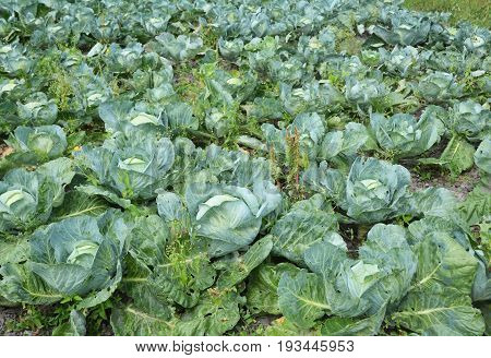 Cabbage: Planting Organic Growing and Harvesting Cabbage.