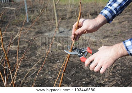Gardener hands cutting red raspberry plant bush with bypass secateurs. Pruning Fruit Tree with Copy Space.