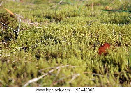 Green moss in the sunlight, moss closeup, macro. Background of moss in wilderness terrain.