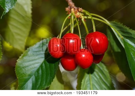 closeup cluster of ripe cherries on cherry tree. Cherries hanging on branch. Gardening, agriculture, orchard and harvest concept