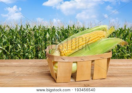 fresh corn cobs in basket on wooden table with green field on the background. Agriculture and harvest concept. Maize with maize field