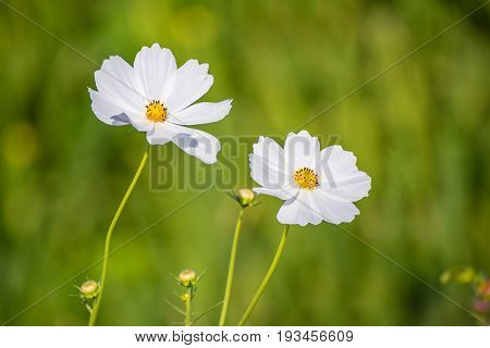 Cosmos flowers with soft natural background fresh and beautiful.