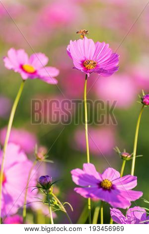Flying worker bee collecting nectar from pollen flowering Cosmos.