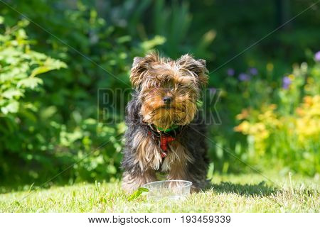 Puppy Yorkshire Terrier after drinking water with wet hair