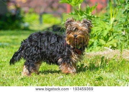 Puppy Yorkshire Terrier in the summer in the garden