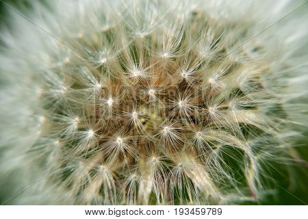 Macro photography of a dandelion. Plant seeds close-up still on the flower