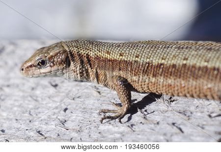 The viviparous lizard or common lizard. Macro viev. Zootoca vivipara. Lizard on a wooden board. Reptile animal.