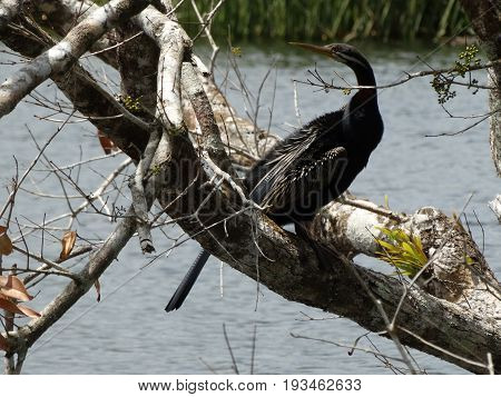 The Australasian Darter watching the surroundings in Daintree National park