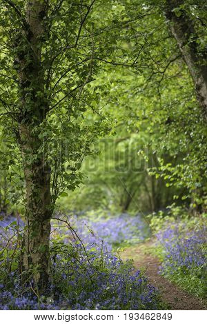 Shallow Depth Of Field Landscape Of Vibrant Bluebell Woods In Spring