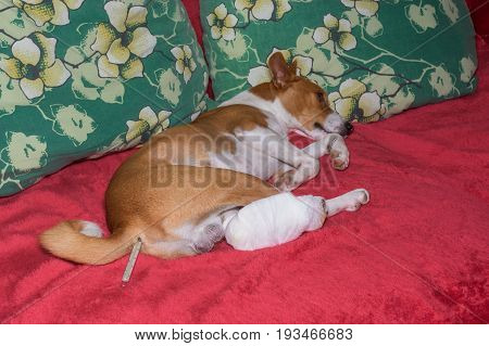 Sad basenji dog with broken bandaged hind feet lying on a sofa with thermometer in the anus