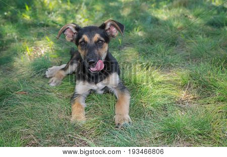 Cute mixed-breed puppy having rest in summer grass