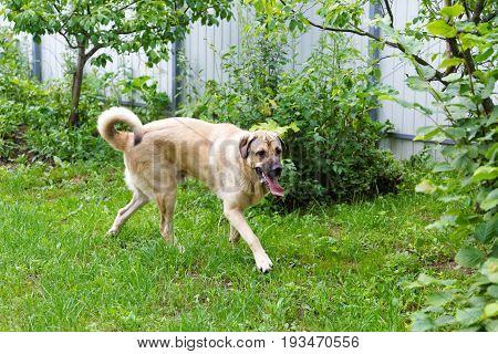 Spanish Mastiff Runs Around The Garden On A Summer Day
