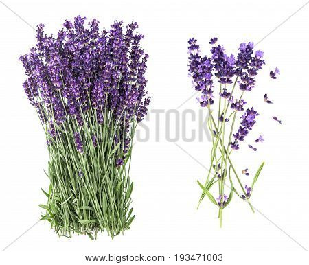Lavender flowers isolated on white background. Bunch of fresh blossoms