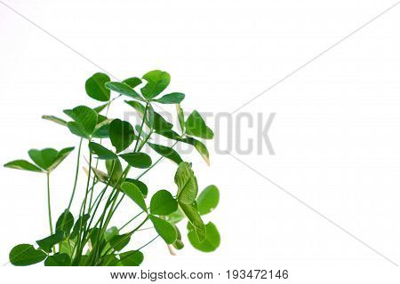 green clover leaves isolated on white background. St.Patrick 's Day
