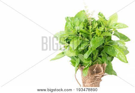 Holy Basil , Ocimum Sanctum Leaf Isolated