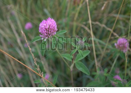 Red clover blooming in the field Favorite of bumblebees and rabbits Against the background of motley grass