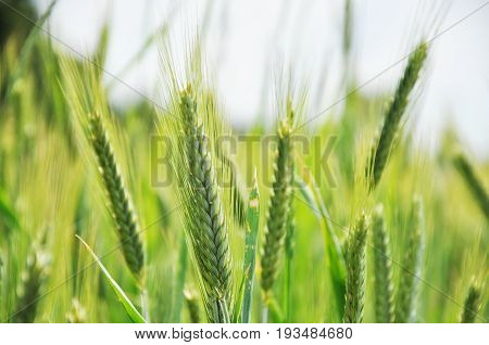 Green ears of rye on the field close up.