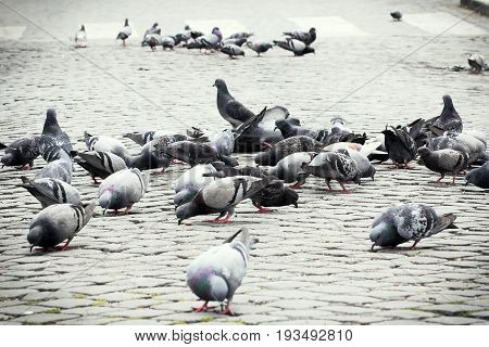 Pigeons in town square. A flock of pigeons in the city.