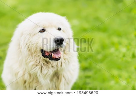 Portrait of a white large fluffy dog with attentive eyes on a natural green background, selective focus. With place for your text, for background use
