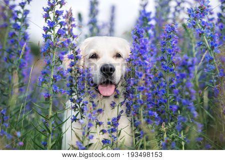 beautiful golden retriever dog posing in a field of flowers