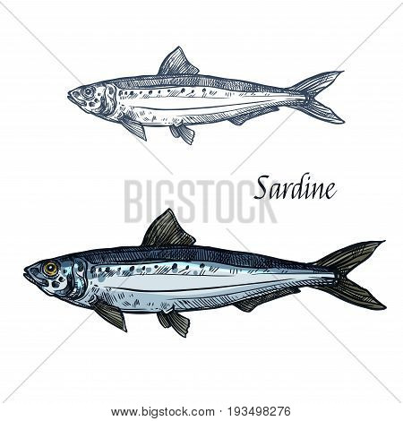 Sardine fish vector sketch icon. Isolated sea pilchard herring or sardinella fish species. Isolated symbol for seafood restaurant sign or emblem, fishing club or fishery market