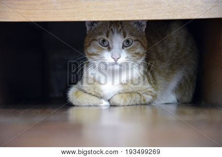 Ginger cat looking from under bed, horizontal. Funny kitty hiding under the bed.
