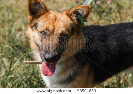 Close-up Of A Cute Smiling German Shepherd Dog, Good Friendly Yellow Eyes, Look Of Honesty, Man's Be