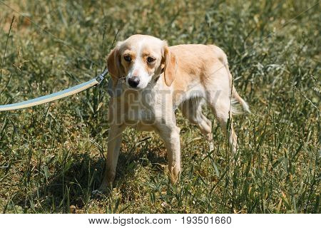 Friendly Light Brown Dog Being Afraid, Scared Dog On A Walk In The Park, Animal Shelter Concept