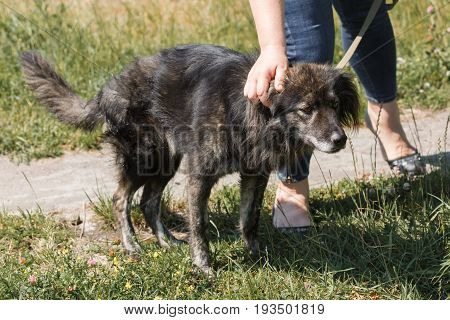 Female Owner Caressing Cute Old Grey Dog While On A Walk Outside, Woman Petting Mongrel Dog, Animal
