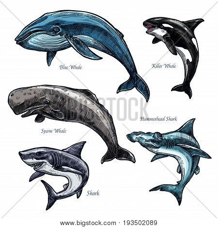 Whales and sharks icons set of blue and killer whale or orca, hammerhead shark and sperm whale or cachalot. Isolated sketch of ocean giant predatory marine animals or mammal fishes