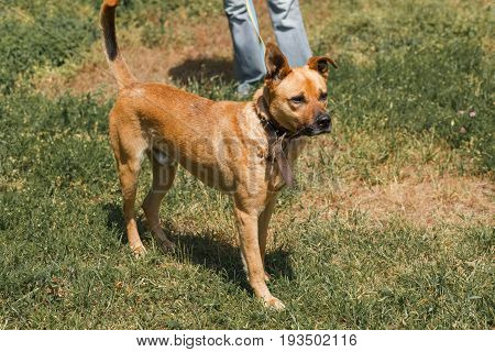 Strong Brown Dog Walking Outdoors In The Park, Mixed Bred Dog With Cute Ears On The Grass, Animal Sh